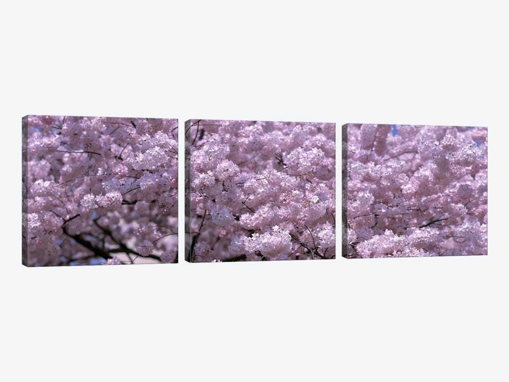 USA, Washington DC, Close-up of cherry blossoms by Panoramic Images 3-piece Canvas Artwork