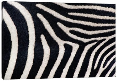 Close-up of Greveys zebra stripes Canvas Art Print