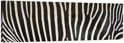 Grevey's Zebra Stripes Canvas Print #PIM4615