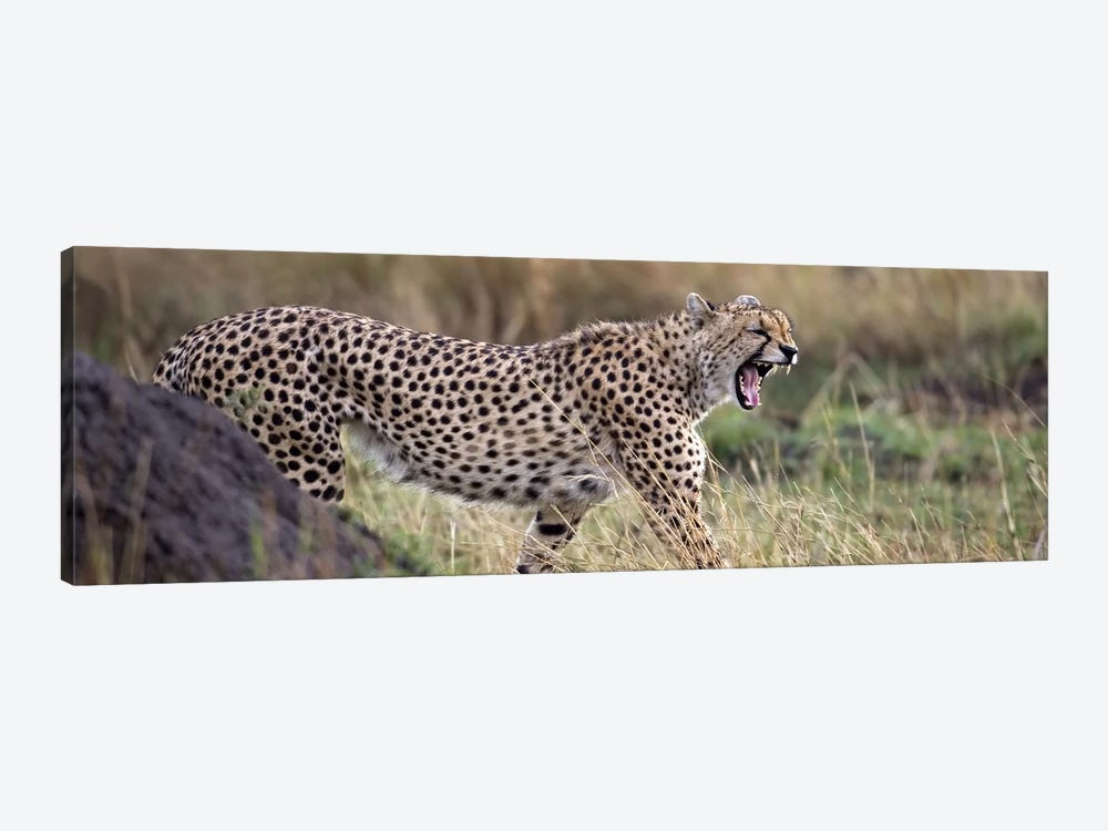 Cheetah walking in a field by Panoramic Images 1-piece Canvas Art Print