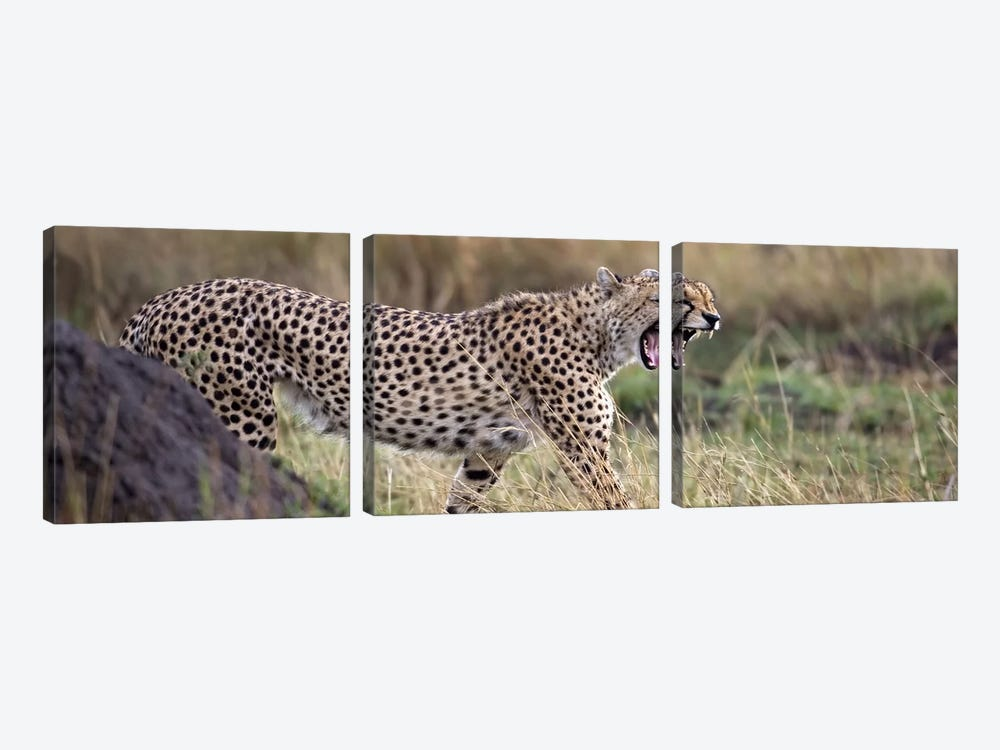 Cheetah walking in a field by Panoramic Images 3-piece Canvas Print