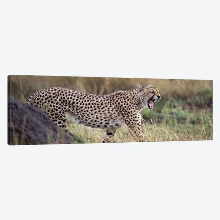 Cheetah walking in a field 3-Piece Canvas #PIM4616} by Panoramic Images Canvas Art Print