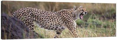 Cheetah walking in a field Canvas Art Print