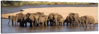 Herd of African elephants at a river Canvas Print #PIM4617