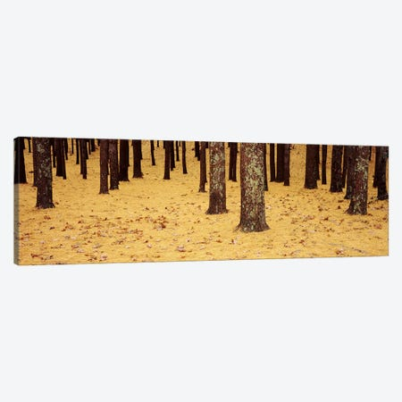 Low Section View Of Pine And Oak Trees, Cape Cod, Massachusetts, USA Canvas Print #PIM4692} by Panoramic Images Canvas Wall Art