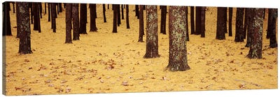 Low Section View Of Pine And Oak Trees, Cape Cod, Massachusetts, USA Canvas Print #PIM4692