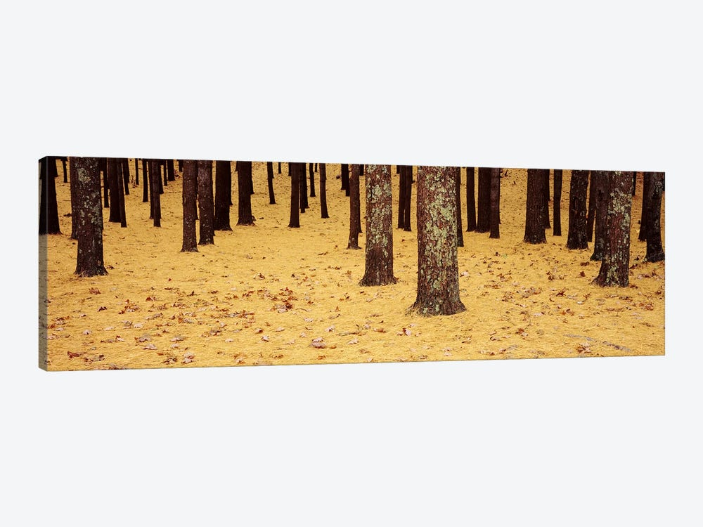 Low Section View Of Pine And Oak Trees, Cape Cod, Massachusetts, USA by Panoramic Images 1-piece Art Print