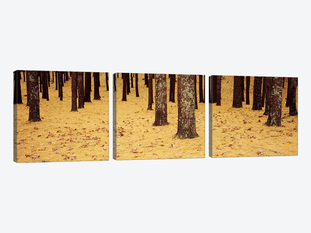 Low Section View Of Pine And Oak Trees, Cape Cod, Massachusetts, USA by Panoramic Images 3-piece Canvas Art Print