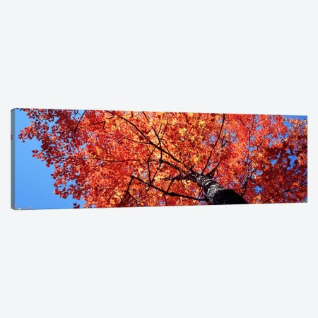 Low Angle View Of A Maple Tree, Acadia National Park, Mount Desert Island, Maine, USA Canvas Print #PIM4693} by Panoramic Images Canvas Art