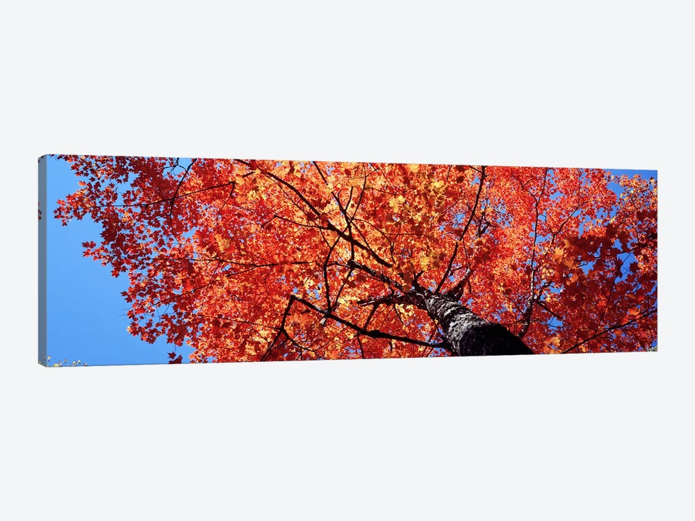 Low Angle View Of A Maple Tree, Acadia National Park, Mount Desert Island, Maine, USA by Panoramic Images 1-piece Canvas Wall Art