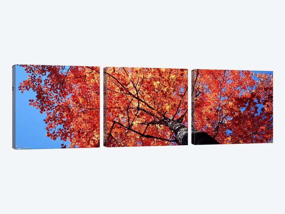 Low Angle View Of A Maple Tree, Acadia National Park, Mount Desert Island, Maine, USA by Panoramic Images 3-piece Canvas Wall Art