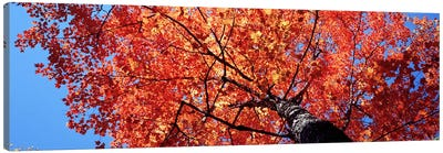 Low Angle View Of A Maple Tree, Acadia National Park, Mount Desert Island, Maine, USA Canvas Art Print