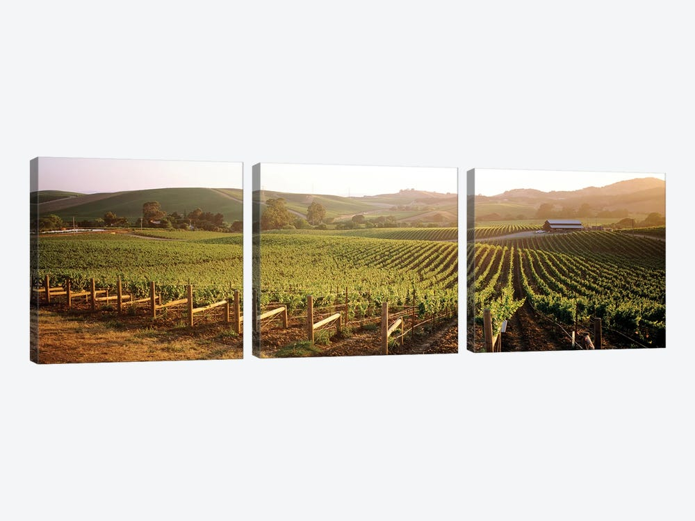 Vineyard Landscape, Los Carneros AVA, Napa Valley, California, USA by Panoramic Images 3-piece Canvas Art