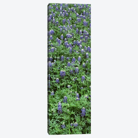 High angle view of plants, Bluebonnets, Austin, Texas, USA Canvas Print #PIM4735} by Panoramic Images Canvas Art