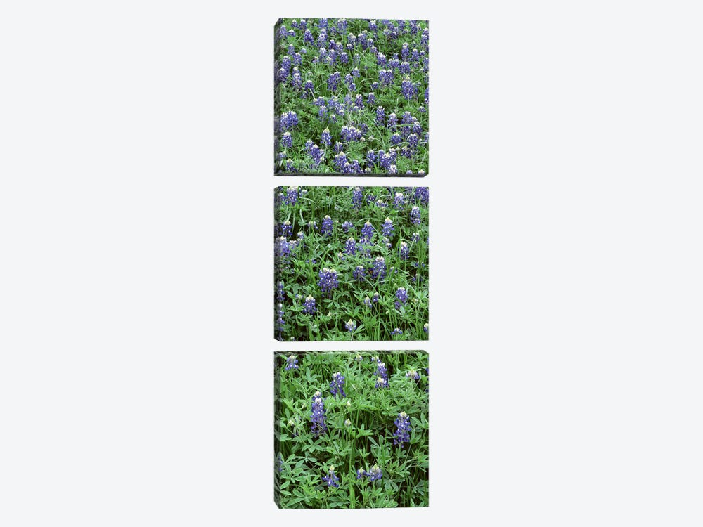High angle view of plants, Bluebonnets, Austin, Texas, USA by Panoramic Images 3-piece Canvas Print