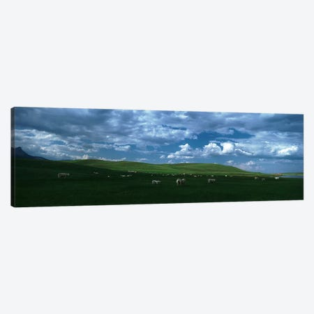 Charolais cattle grazing in a field, Rocky Mountains, Montana, USA Canvas Print #PIM4823} by Panoramic Images Canvas Art Print
