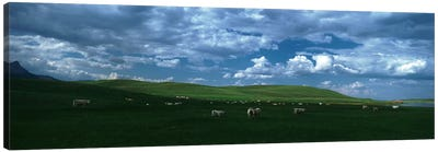 Charolais cattle grazing in a field, Rocky Mountains, Montana, USA Canvas Art Print
