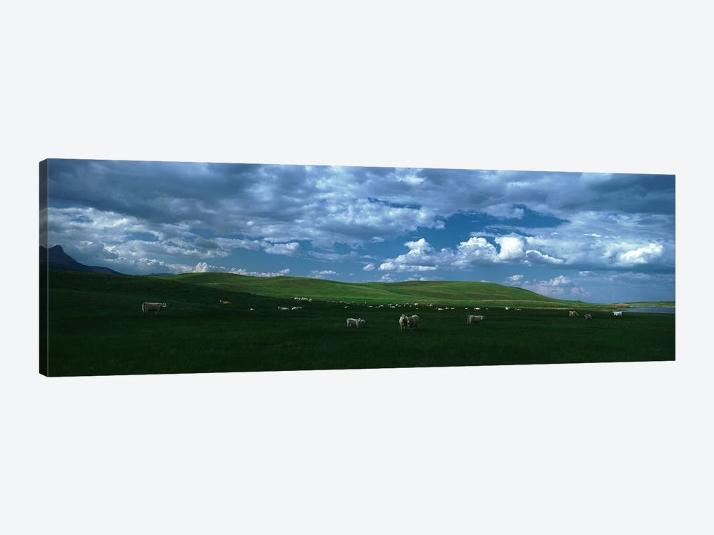 Charolais cattle grazing in a field, Rocky Mountains, Montana, USA 1-piece Canvas Art