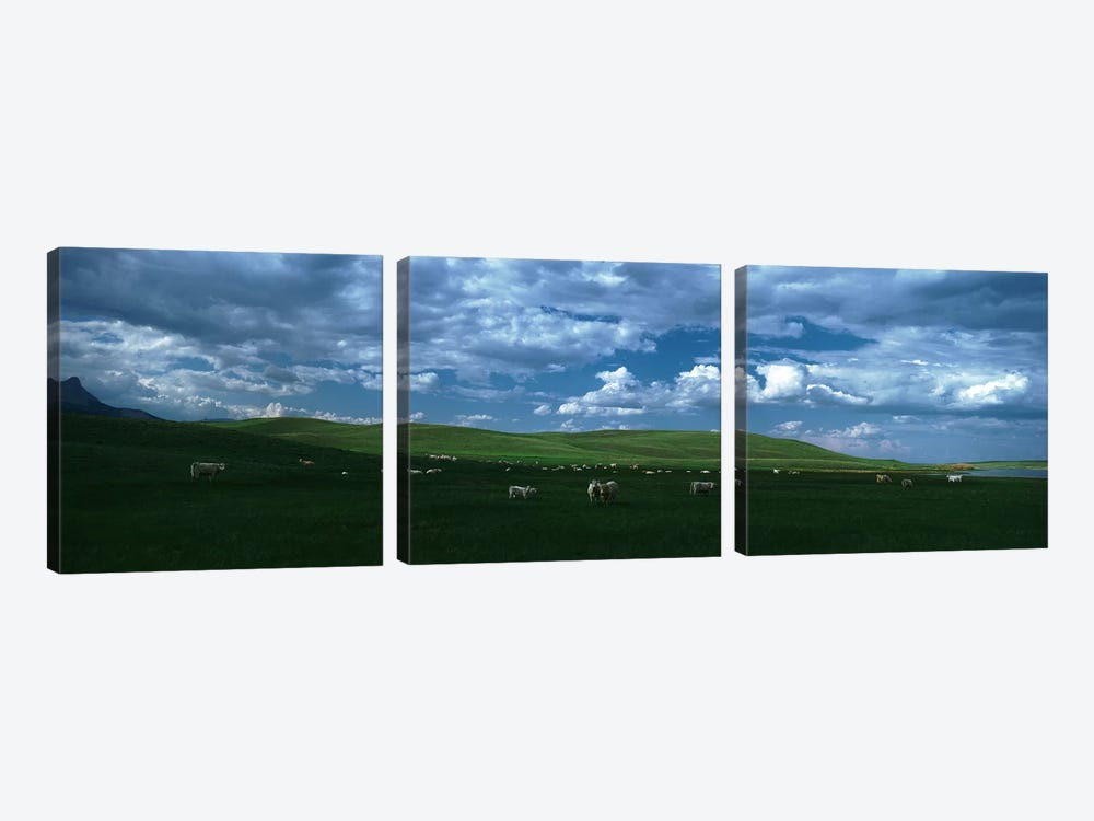 Charolais cattle grazing in a field, Rocky Mountains, Montana, USA by Panoramic Images 3-piece Canvas Artwork