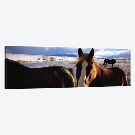 Horses in a field, Montana, USA Canvas Print #PIM4824} by Panoramic Images Canvas Wall Art