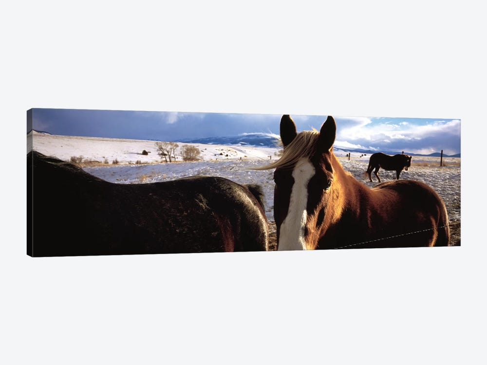 Horses in a field, Montana, USA by Panoramic Images 1-piece Canvas Print