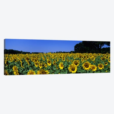 Sunflower Field, Provence-Alpes-Cote d'Azur, France Canvas Print #PIM4843} by Panoramic Images Canvas Art Print