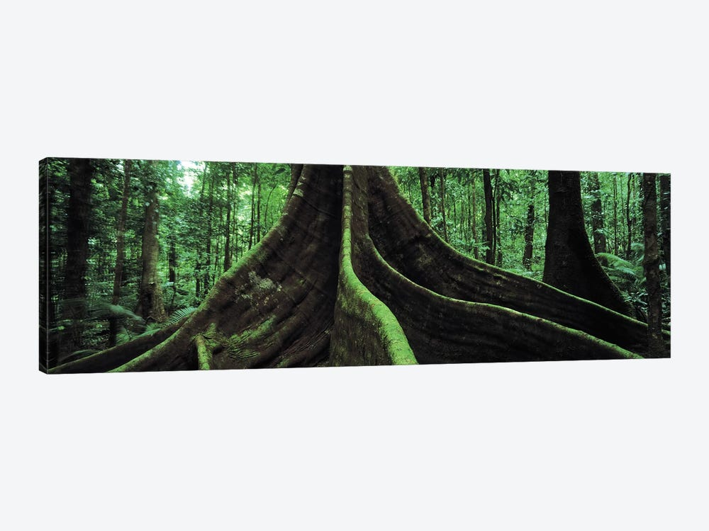 Giant Tree Roots, Daintree National Park, Far North, Queensland, Australia by Panoramic Images 1-piece Canvas Print