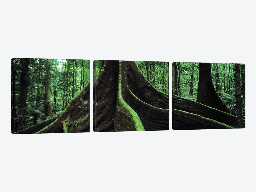 Giant Tree Roots, Daintree National Park, Far North, Queensland, Australia by Panoramic Images 3-piece Art Print