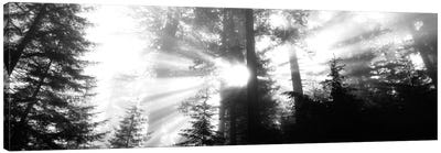 Misty Sunshine, Redwood National Park, California, USA Canvas Art Print