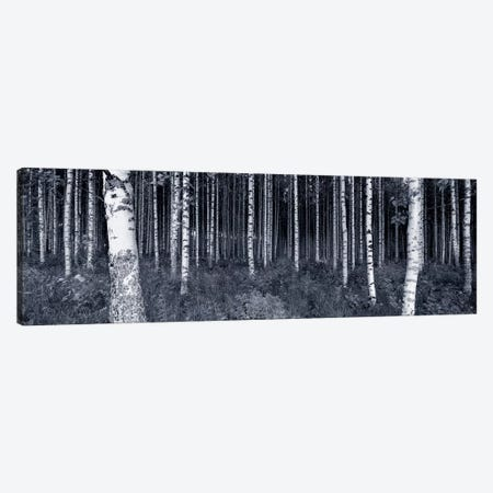 Birch Trees In A Forest, Finland Canvas Print #PIM5016} by Panoramic Images Canvas Wall Art