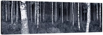 Birch Trees In A Forest, Finland Canvas Print #PIM5016