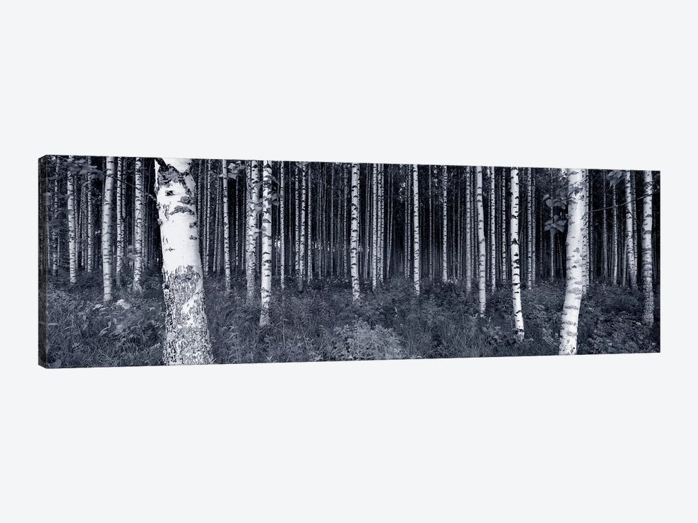 Birch Trees In A Forest, Finland by Panoramic Images 1-piece Canvas Art Print