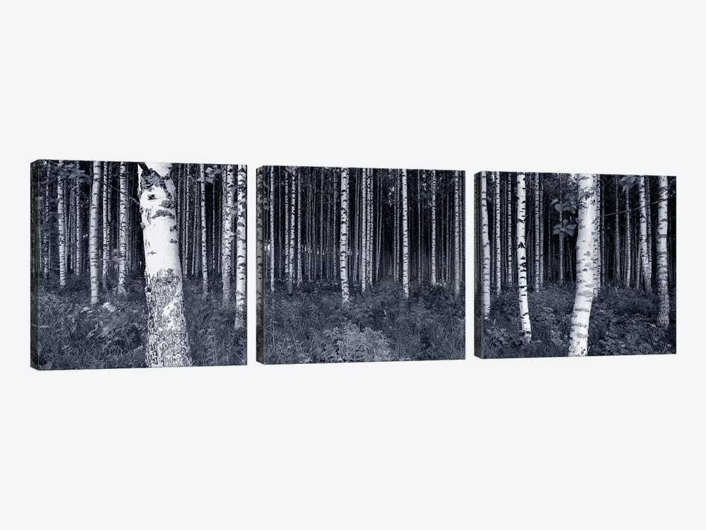 Birch Trees In A Forest, Finland by Panoramic Images 3-piece Art Print