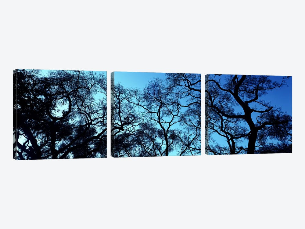 Silhouette of an Oak tree, Oakland, California, USA by Panoramic Images 3-piece Canvas Print