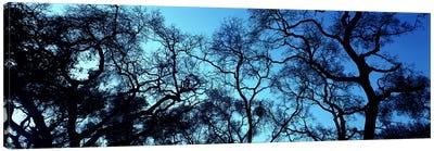 Silhouette of an Oak tree, Oakland, California, USA Canvas Art Print