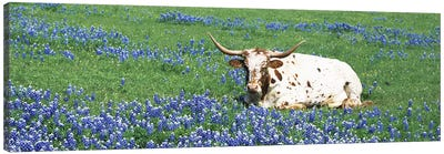 Texas Longhorn Cow Sitting on A FieldHill County, Texas, USA Canvas Art Print