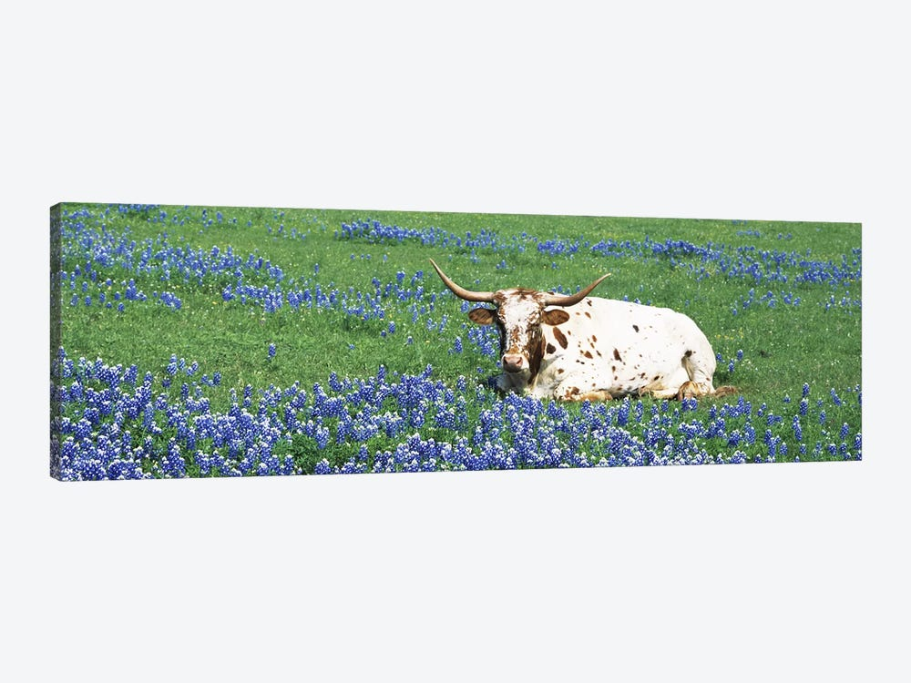 Texas Longhorn Cow Sitting on A FieldHill County, Texas, USA by Panoramic Images 1-piece Canvas Artwork