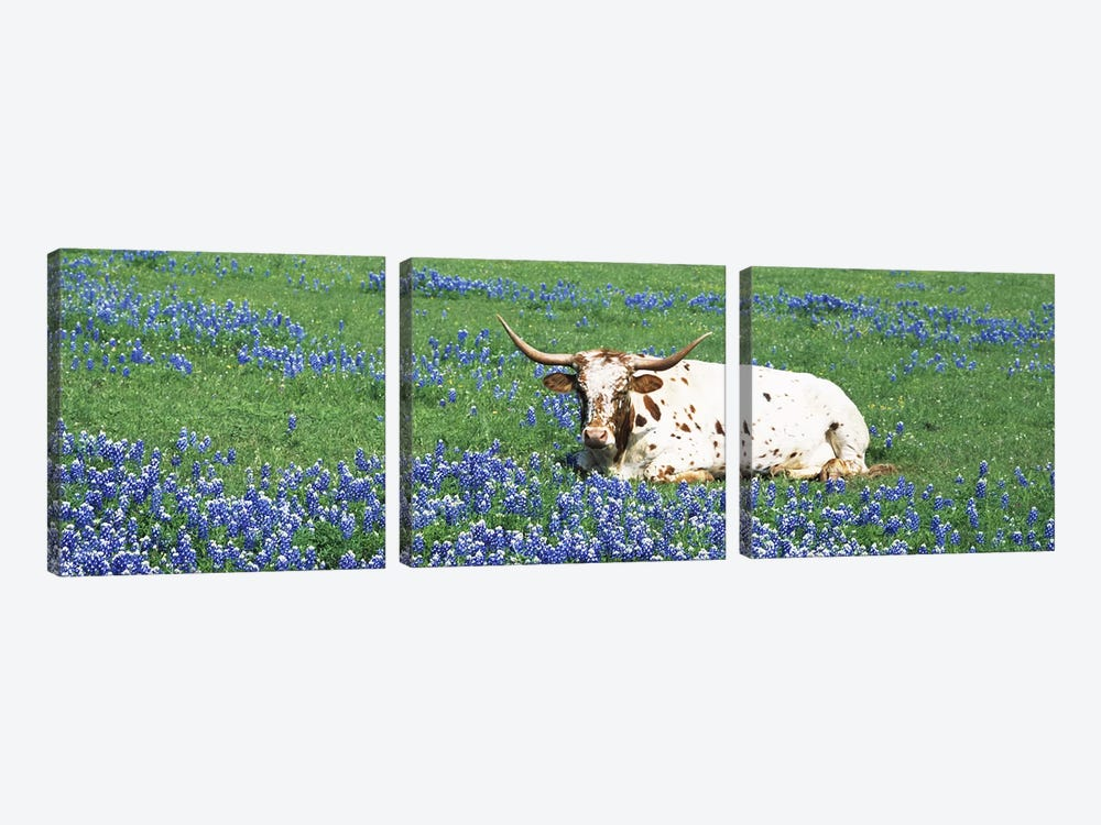 Texas Longhorn Cow Sitting on A FieldHill County, Texas, USA by Panoramic Images 3-piece Canvas Artwork