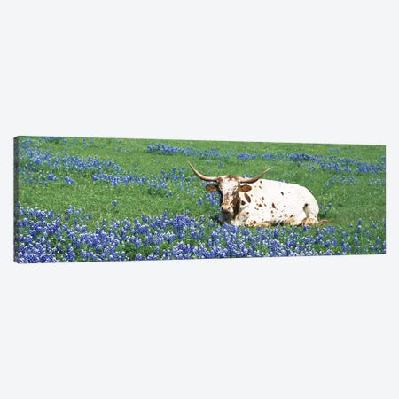 Texas Longhorn Cow Sitting on A FieldHill County, Texas, USA Canvas Print #PIM5055} by Panoramic Images Canvas Wall Art