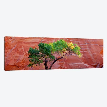 Low Angle View Of A Cottonwood Tree In Front Of A Sandstone Wall, Escalante National Monument, Utah, USA Canvas Print #PIM5057} by Panoramic Images Canvas Art