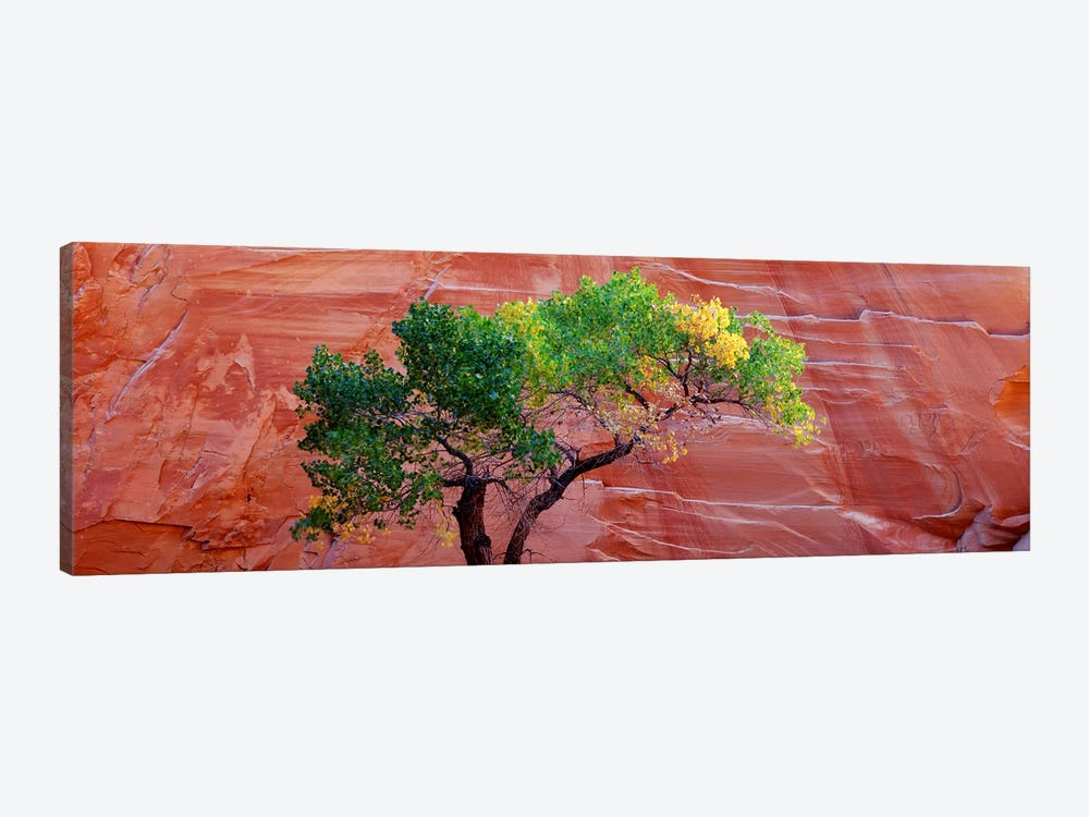 Low Angle View Of A Cottonwood Tree In Front Of A Sandstone Wall, Escalante National Monument, Utah, USA by Panoramic Images 1-piece Canvas Artwork