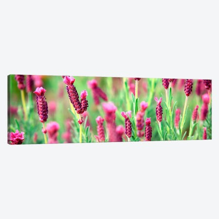 High angle view of Italian Lavender Canvas Print #PIM506} by Panoramic Images Canvas Artwork