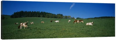 Herd of cows grazing in a field, St. Peter, Black Forest, Germany Canvas Art Print