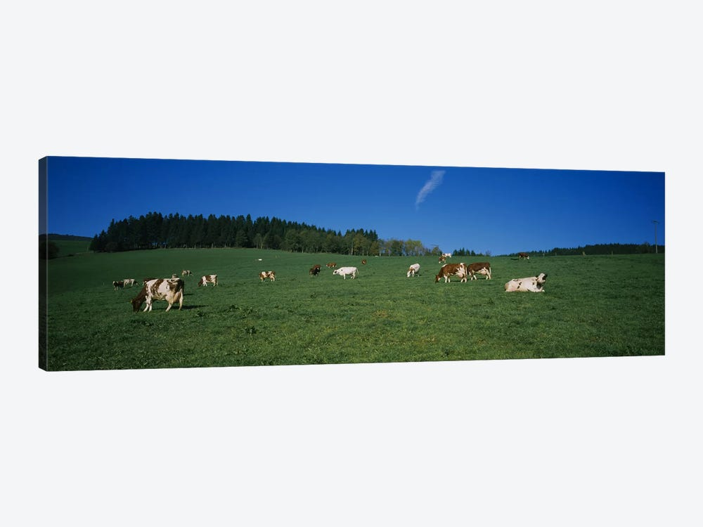 Herd of cows grazing in a field, St. Peter, Black Forest, Germany by Panoramic Images 1-piece Art Print