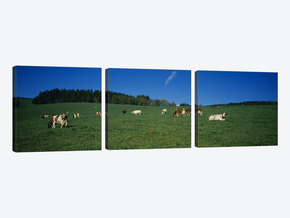Herd of cows grazing in a field, St. Peter, Black Forest, Germany by Panoramic Images 3-piece Canvas Art Print