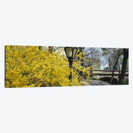 Yellow Blooms, Central Park, Manhattan, New York City, New York, USA Canvas Print #PIM5137} by Panoramic Images Art Print
