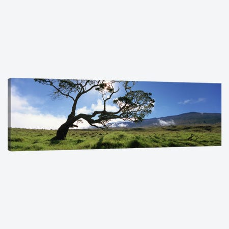 Koa Tree, Big Island, Hawai'i, USA Canvas Print #PIM5161} by Panoramic Images Canvas Art Print