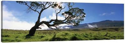 Koa Tree, Big Island, Hawai'i, USA Canvas Print #PIM5161