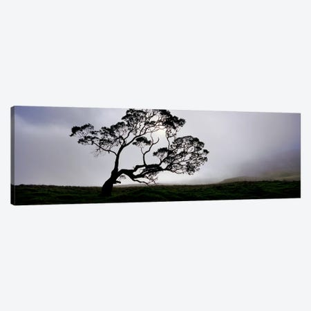 Silhouette Of A Koa Tree, Mauna Kea, Kamuela, Big Island, Hawaii, USA Canvas Print #PIM5162} by Panoramic Images Canvas Print