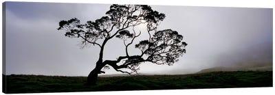 Silhouette Of A Koa Tree, Mauna Kea, Kamuela, Big Island, Hawaii, USA Canvas Print #PIM5162